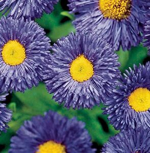 Erigeron Azure Fairy - 100 seeds - Perennials