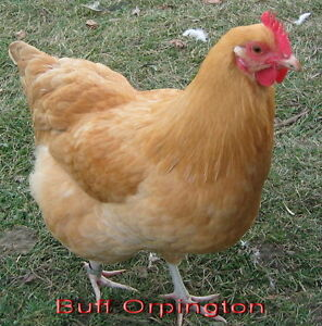 Wanted laying Hens  (6)