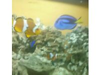Regal Tang and 2 clownfish for sale