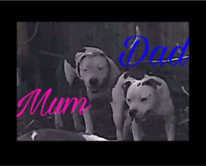 Amstaff x English pups for sale!! Deception Bay Caboolture Area Preview