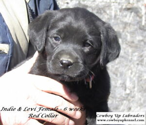 Beautiful CKC reg'd Lab Puppies - health tested parents