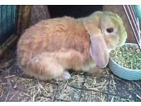 12 week old male lop rabbit for sale £50 including cage and accessories
