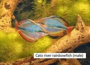 Tropical aquarium fish: Rainbowfish silver dollar tetras gouramis Gawler East Gawler Area Preview