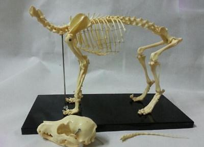 samll dog skeleton model Canine skeleton model veterinary animal skeleton model