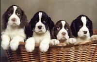 CKC.Registered English Springer Spaniels
