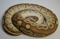 Ball Pythons - Proven Breeders