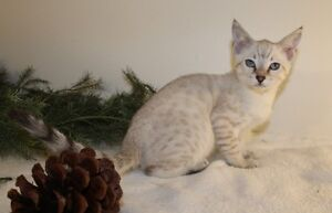 Beautiful snow lynx rosetted Bengal • TICA registered