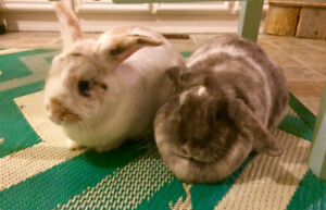 Two Indoor Lop Rabbits for Rehoming