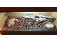 Adult Male Milk Snake and Vivarium