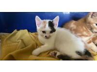 Pretty Kitty cross Bengal