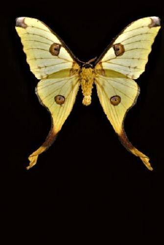 Uncommon Comet Moth Argema mittrei Female Folded ** A - ** FAST FROM USA