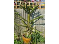 Lovely Monkey Puzzle tree for sale