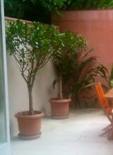 Standard Ficus plants Bronte Eastern Suburbs Preview