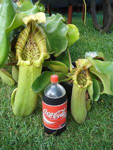 Nepenthes truncata pianta carnivora 5 semi ebay for Pianta carnivora dionea