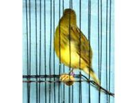 Quality Fife canary cock 2016 bird for sale