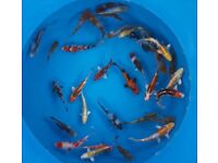 Japanese koi and pond fish for sale from 1 inch to 12 inches good quality fish