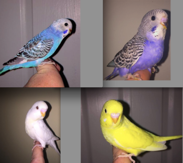 TAME BABY BUDGIES, COCKATIELS / CAGES FOR XMAS! PURPLE!