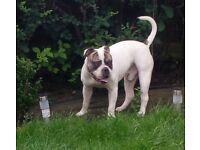 British bulldog x