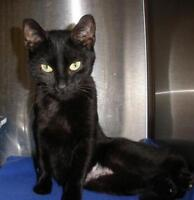 """Young Female Cat - Domestic Short Hair: """"Sherrie 15 (BC)"""""""