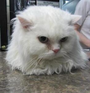 "Adult Female Cat - Himalayan: ""Bonnie"""