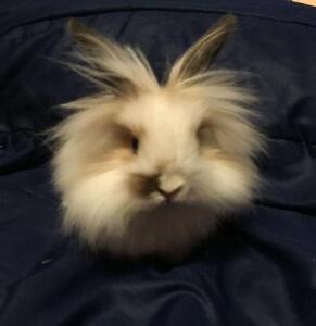 "Baby Male Rabbit - Lionhead-Mini Lop: ""Snickerdoodle"""
