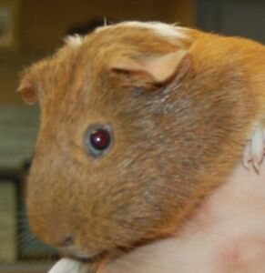 "Adult Male Small & Furry - Guinea Pig: ""Pebbles"""