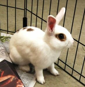 "Adult Male Rabbit - Bunny Rabbit: ""Star"""