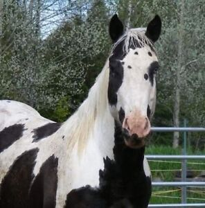 APHA Paint Broodmare/project horse