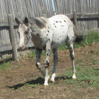 Black and White Leopard Stud Colt- Awesome!