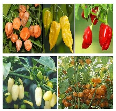 250 Seeds Habanero Pepper Seed Mix HOT!! for sale  Shipping to Canada