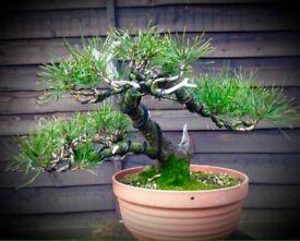 Quality 22yr Old Mugo Pine styled Bonsai