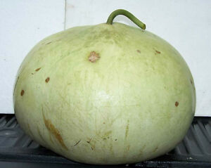 Basket-Gourd-Seeds-Easy-Drying-Instructions-Included-theseedhouse-10-Seeds