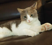 Lincoln - Lost Cat - Male Grey and White Tabby