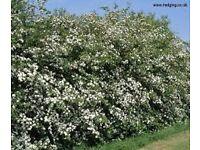 Thorn Hedging Plants - Bare Root - Crataegus Monogyna