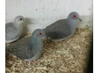 3 x cock diamond doves for sale (collection dereham)
