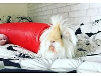 2x female guinea pigs, 1 and a half years old. Comes with a 2 story cage too!!!
