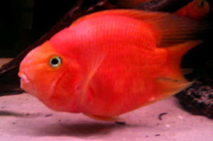 Wanted Red Parrot fish