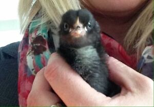 #1 Heritage Breed Barred Rock Chicks
