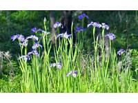 Perennial Blue Iris