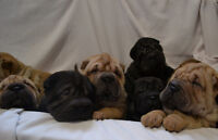 To Cute to be True Shar-Pei Puppies!