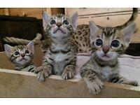 Bengal Kittens. Stunning & Pure Bred
