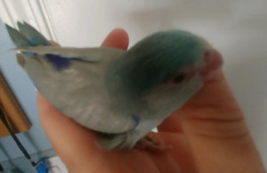 Baby grey fallow parrotlet