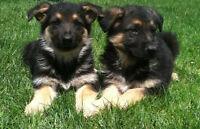 Purebred german sheperd puppies