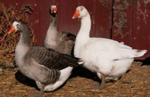 Ducks and geese for sale
