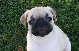 Adorable chiot pug carlin