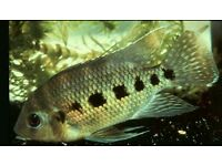 """6-7 """" Spotted tilapia Cichlid"""