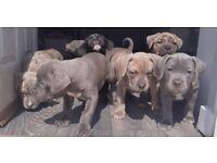 American xl bully pups