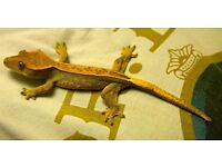 Crested gecko and viv