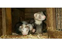 2 young ferrets for sale