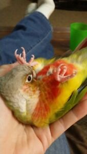 ❤★❤Friendly★Conures with Cage❤★❤